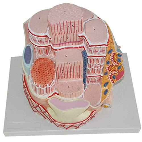 Wissenschaftliche Modelle der menschlichen Anatomie - Skelettmuskelfasermodell und Skelettnervenenden 40000X Mikroskopische Vergrößerung Anatomisches Modell - Unterricht in Histologie und Embryologie