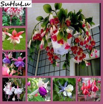 Virtue 24kinds Flowers 100pcs Bonsai Garden Plant Desierto Rose Poppy Peony Daisy Lavanda Lithops Hydrangea Violet Sunflower Lantern: 100-linterna