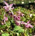 Elfenblume Akebono - Epimedium grandiflorum von Baumschulen auf Du und dein Garten