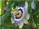 Seedeo Blaue Passionsblume (Passiflora caerulea) 25 Samen