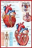 empireposter - Educational - Bildung - The Heart Das Herz  - Größe (cm), ca. 61x91,5 - Poster, NEU - Version in Englisch