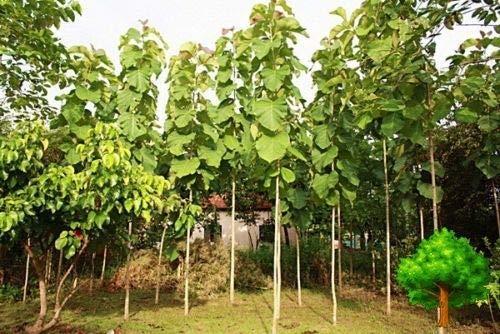 PLAT FIRM GERMINATIONSAMEN: 100g TEAK Blätter Hartholz Tropischer Baum Tectona Grandis SAK-THONG C476