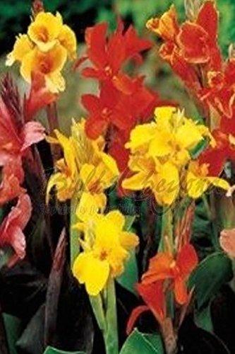 Canna Mélange - 20 Bulbes/rhizomes de Canna (Balisier - Livraison Gratuite