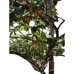 Kakaobaum (Theobroma cacao) 3 Samen