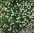 Spanisches Gänseblümchen - Erigeron karvinskianus von Baumschule - Du und dein Garten