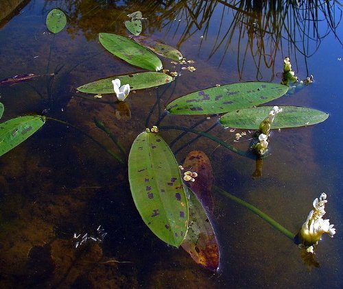 Afrikanische Wasserähre – Aponogeton distachyos - 2