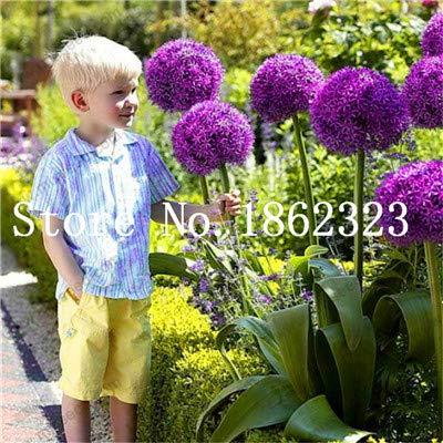 prime vista 200 pcs géant allium giganteum bonsai fleur plante pourpre allium organique magnifique fleur pour jardin décoration: 8