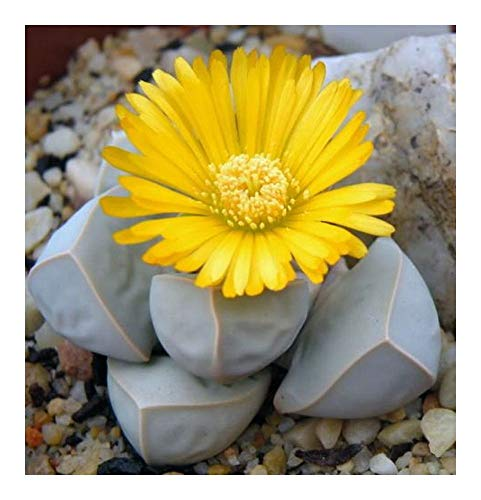 Lapidaria margaretae - Karoo Rose - 10 graines