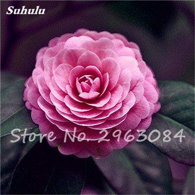 5 pièces rares Graines arc-en-Camellia fleurs, plantes en pot de bricolage, Lumière Parfumée Fleur intérieur, intérieur Bonsai planter des fleurs Semences 13