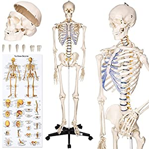 TecTake Human skeleton anatomical model Life Size 181cm + poster + bonnet