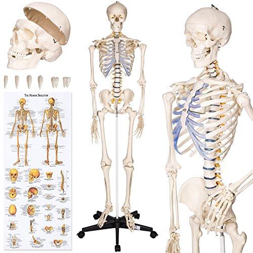 TecTake® Anatomie Skelett lebensgroß 181cm inklusive Ständer + Haube + Poster