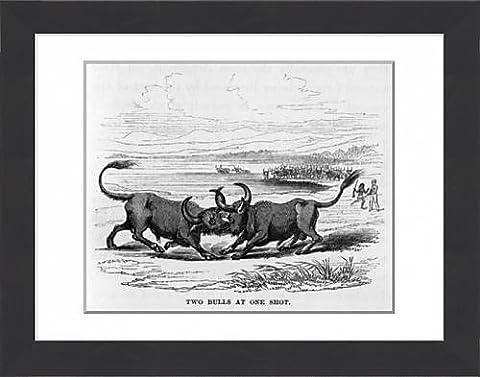 Framed Print of Two bulls locking horns, Sri Lanka