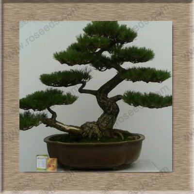 Immergrüne Baumsamen Japanische Kiefer Bonsai-Baum-Samen Holly Blatt Kiefer Samen 100 PCS/bag Dunkel Khaki