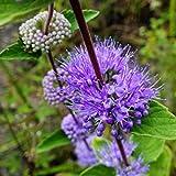 Keland Garten - Spätsommer/Herbst Bartblume Caryopteris Blumensamen geeignet für Pflanzenschale, Steingärten, Gartenterrassen, in Staudenrabatten, Kübel (50 Samen)