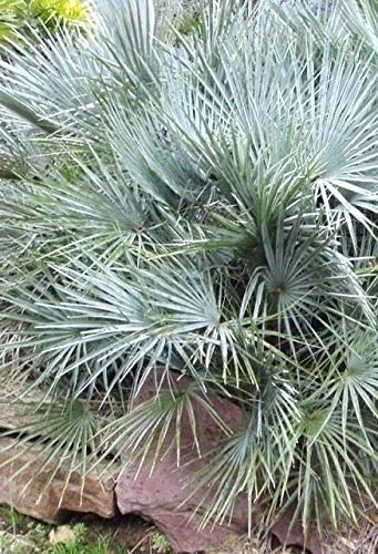 Palmenmann Blaue Zwergpalme (Cerifera) - Chamaerops humilis Cerifera