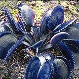 Keland Garten - 50 Stück Selten Blau Venusfliegenfalle Samen, Koffee/Grün/Rosa/Rot Dionaea muscipula, fleischfressende Pflanze