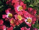 PLAT FIRM GERMINATIONSAMEN: Rosa Drift Rose - resistent gegen Krankheiten - 4