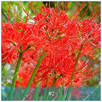 ZLKING 2 ampoules Lycoris Plante en pot Lycoris Radiata Graines de fleurs vivaces Jardiner Planter Mix Couleurs jardin Rouge