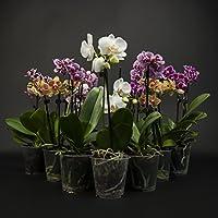 3 stueckphalaenopsis, 2 Transmisión, Orquídea, flores, 9cm Olla, orquídea, Orquídea