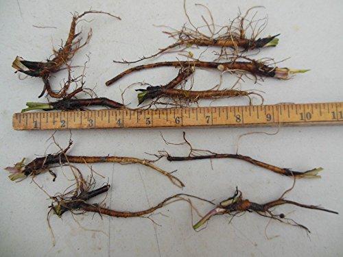 PLAT FIRM Germinación de las semillas: 5 piezas CONSUELDA RUSO RAÃZ orgánicos cultivados Böcking 14 ENVÃO GRATIS