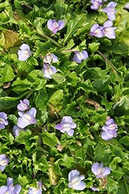 Wasserpflanzen Wolff - Mazus reptans - Himalaya Lippenmäulchen, blau von Wasserpflanzen Wolff - Du und dein Garten