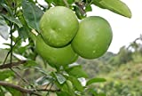 Pomelobaum Pomelo Citrus maxima Pampelmuse Pflanze 10cm essbare Früchte selten