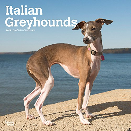 Italian Greyhounds - Italienisches Windspiel 2019 - 18-Monatskalender mit freier DogDays-App (Wall-Kalender) -