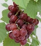 Vitis vinifera Red Flame Seedless - kernlose Weintraube - Tafeltraube