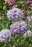 TROPICA - Lila Fransenmohn ( Papaver Laciniatum - gefüllte Blüten) - 1200 Samen