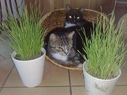 Katzengras Samen Snack Katzengrassamen Katzengrassaat
