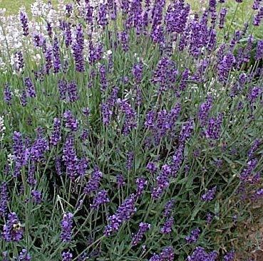 Seekay Lavande Vera 'Lavandula Vera 'Environ 200 Graines - 200 seeds
