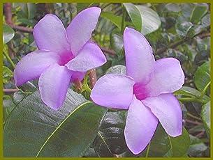 Nelesa Gardening Live Violet Allamanda Flower Plant (Violet)