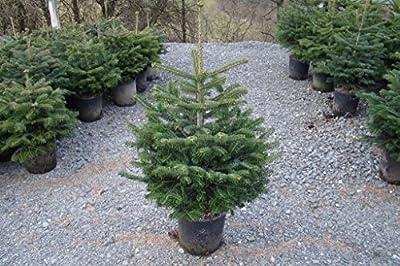 Nordmanntanne im Topf gezogen Baum mit Anwachsgarantie von Mütherich Nadelholzkulturen - Du und dein Garten