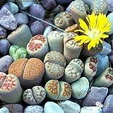 100 Semillas Lithops suculentas primas Piedra Cactus Semillas Flores plantadas carnoso Semillas Semillas De Flores Bonsai pequeñas plantas de jardín