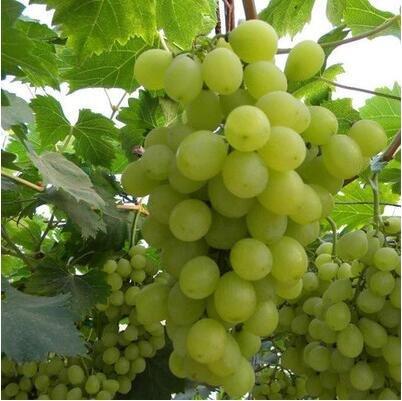 50 pcs / lot de raisin rouge doux Graines avancée Fruit graines croissance naturelle de raisin délicieux fruits de jardinage Plantes 3
