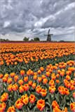 Forex-Platte 40 x 60 cm: Dark Clouds on Fields of Multicolored Tulips and Windmill Berkmeer Koggenland North Holland Netherla von Age fotostock/Mauritius Images