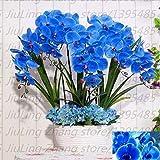 Portal Cool 3: 100 Stück/Beutel Blau Samen Phalaenopsis Bonsai Blumensamen Orhid Topf Balkon Pflanze Fo