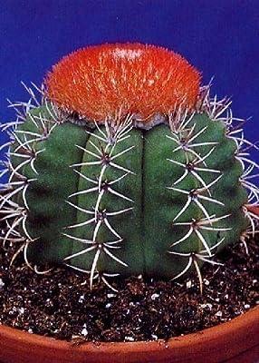 Tropica - Kakteen - Cubanischer Melonenkaktus (Melocactus matanzanus) - 40 Samen von Tropica auf Du und dein Garten
