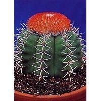 Tropica - cactus Cubano cactus Melón (Melocactus matanzanus) - 40 Semillas