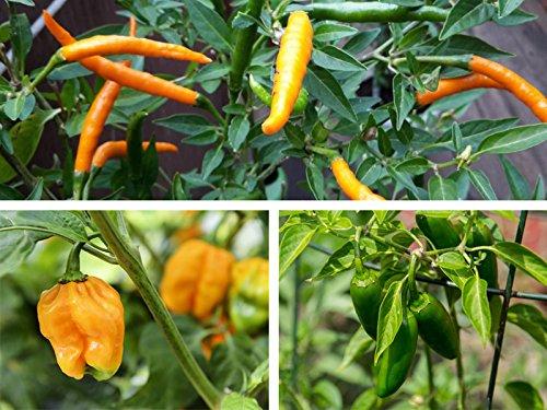 Chili-Pflanzensortiment 3 verschiedene Sorten im Topf