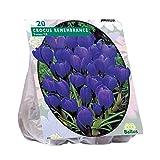 Crocus Grootbloemig Blau 50 Stück großblumige Krokusse Blumenzwiebel