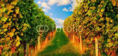 druck-shop24 Wunschmotiv: Rows of grapevine in warm sunlight #84628972 - Bild als Foto-Poster - 3:2-60 x 40 cm/40 x 60 cm