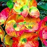 2016 50pcs Blau und Weiß Euphorbia Milii Samen New Rare Hochzeit Blumen Pflanzen Für Hausgarten Sehr Easy Grow