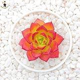 Pinkdose 100 Stück/Beutel Riesen Hibiskus-Blume Bonsai Pflanze Indoor Blume Eibisch Bonsai-Baum-Haus-Garten-Dekoration Topfpflanzen: 6