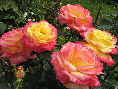 Rosarot Pflanzenversand p92