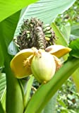 TROPICA - Japanische Faserbanane ( Musa basjoo ) - 10 Samen