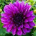 """Dekorative Dahlie """" Thoma A Edison """" von Mosselmann - Du und dein Garten"""