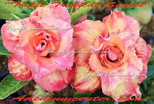 "PLAT FIRM GERMINATIONSAMEN: ADENIUM Obesum Desert Rose""TRIPLE TROPICAL SUNSET"" 20 Samen NEW HYBRID"