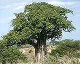 Adansonia digitata - Affenbrotbaum - 5 Samen