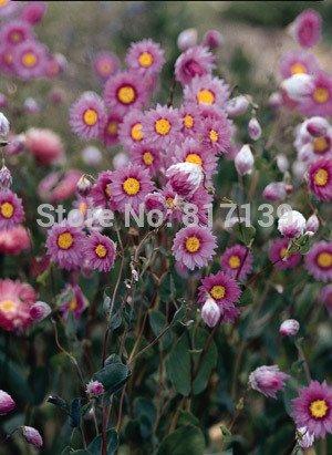 Graines Diy Accueil Jardin des plantes 10 Graines Paper Daisy Rose Helipterum Roseum Fleur Livraison gratuite